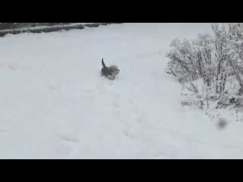 Dandie Dinmont Terrier snow walk