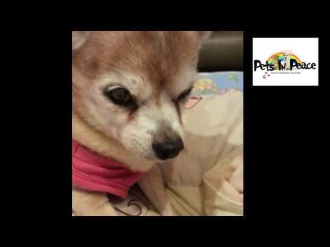 A beloved Mahkota Cheras Chiwawa by Pets in Peace Malaysia pets cremation services