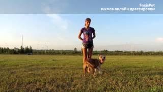 """FoxisPet: обучение собаки трюку """"Кружись"""""""