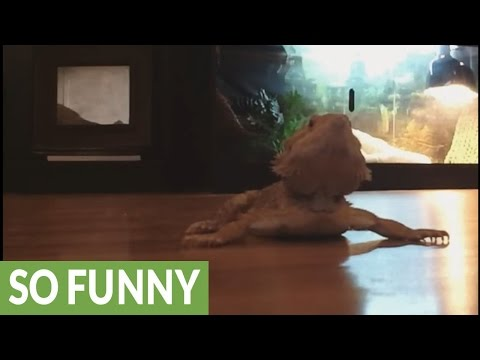 Bearded dragon excited to meet lady lizard