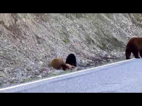 Black Bears Feeding On Fawn in Yellowstone National Park