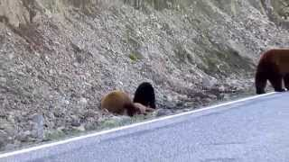 Black Bears on Fawn