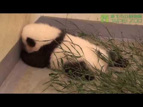 中秋連假團圓一家三口 The Panda Family at Taipei Zoo