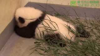 Rescued Panda mom makes her baby go back to bed at TAIPEI ZOO