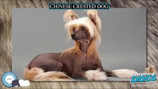 Chinese Crested Dog  Everything Dog Breeds
