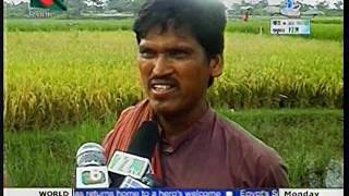 Saline tolerant winter rice cultivation at costal area under CBA project of CNRS 2012 Boishakhi TV N