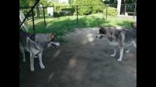 久々に狼犬同士で遊ばせました。 はじめはちょっと遠まわしに様子を伺っ...