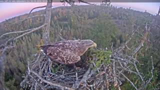 2016/10/10 18h42m juras erglis Female braught a huge spurce branch