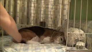 寝起きのビッキー 布団についていた方側の口がつぶれてて 可愛いベロが...