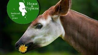 Нож из Южной Африки Окапи (Okapi)