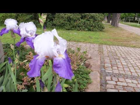 Iris × barbata - Bart-Iris