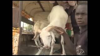 LANDO: Reportage sur le marché de bétails de lompoul