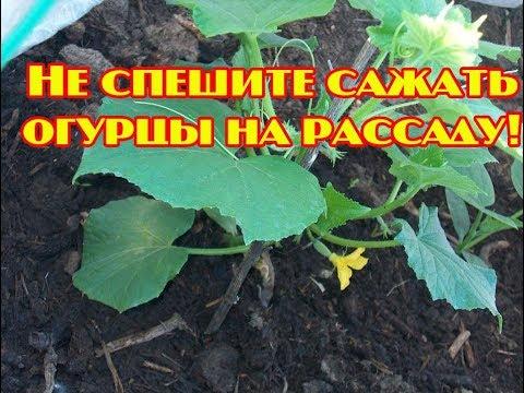 Не спешите сажать огурцы на рассаду!