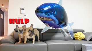 French Bulldogs Pranked By Floating Shark!