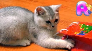 The funniest kitten in the world with Bonsticks