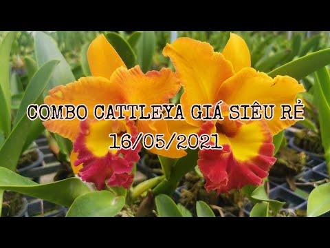 #121 : COMBO CATTLEYA GIÁ RẺ SỐ LƯỢNG CÓ HẠN (16/05/2021). | Foci