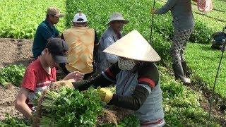 Giá tăng, làng rau sạch Ngọc lãng, tỉnh Phú Yên rộn ràng sau Tết