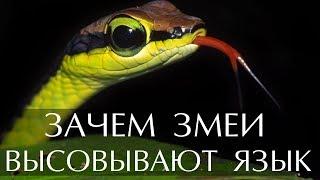 Зачем змеи высовывают язык