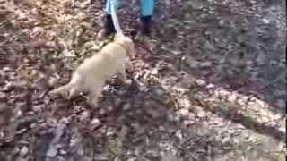 Golden Retriever Welpe (8 Wochen) Frisch Vom Züchter - Zerrspiel Teil 2
