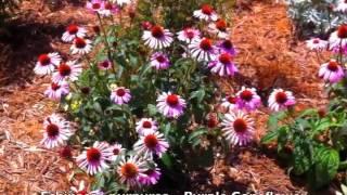Echinacea purpurea - Purple Coneflower