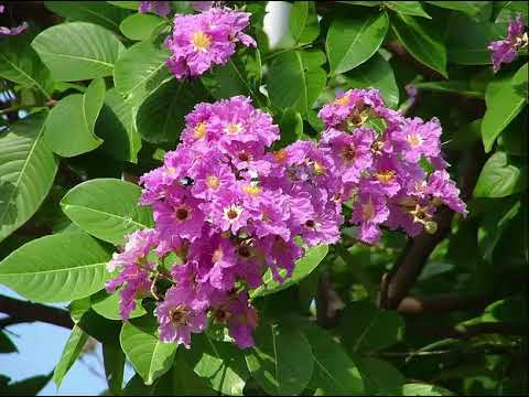 The Health Benefits of Banaba Herb