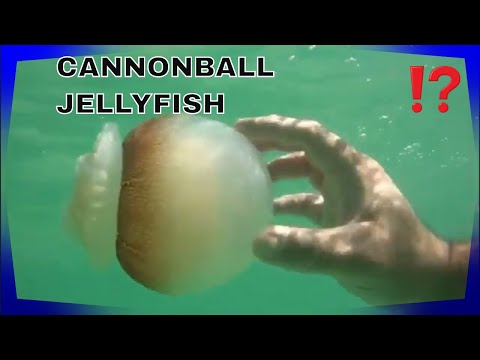 CANNONBALL JELLYFISH FACTS