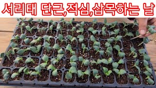 서리태콩 다수확 하기위한 2단계 단근,적심,삽목하기  …