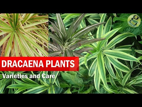 Dragon Trees - Dracaena Plant Species - Varieties, Care of Dracena trees in General - English