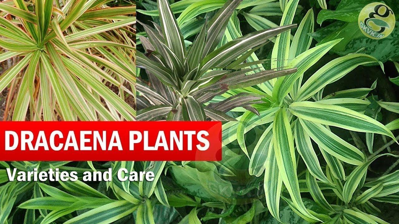 Dragon Trees Dracaena Plant Species Varieties Care Of Dracena In General English