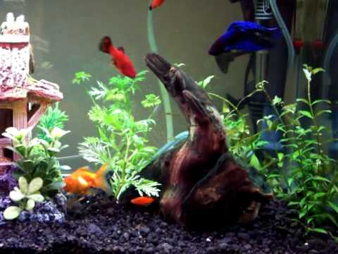 20 gallon goldfish tank with live plants platies and a for What fish can live with goldfish