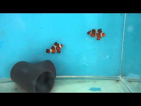 Amphiprion percula 3