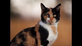 Трехшерстная кошка-счастье в дом...
