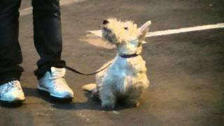 Дрессировка скотч терьера http://dogclass.ru/