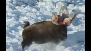 Exclusive! Wolves vs Bison! Who will win ? Mortal Animal Fight