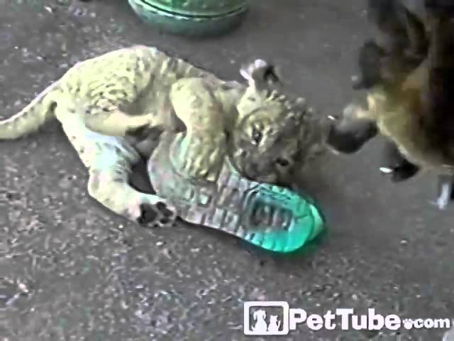 Lion Cub Loves Shoes- PetTube