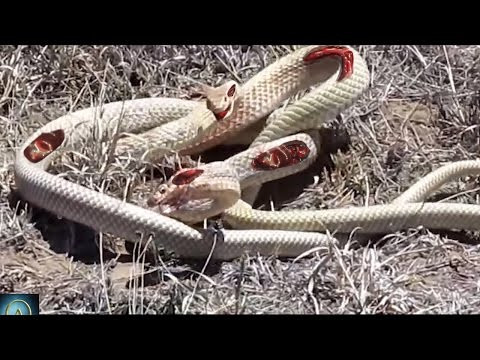 Thumbnail: Watch these Snakes Fight to Death - Snake vs Snake!