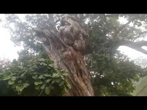 The Kadamba tree at Kaliya ghat | Vrindavan | 2016 |