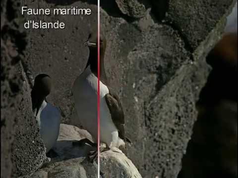 Faune maritime d' Islande - Iceland coastal wildlife