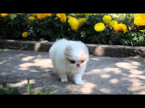 JAPANESE CHIN PUPPIES  Kennel FCI RODNICHOK IZ TIGER SADA