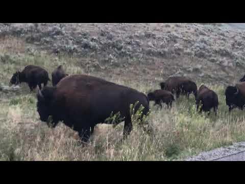 Yellowstone Bison Blocks Road