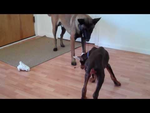Doberman Puppy, Belgian Malinois, and Oriental Shorthair Cat