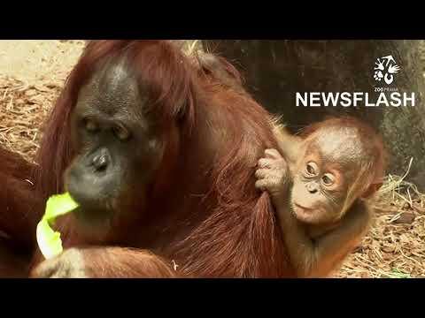 Young Sumatran Orangutan Discovers The World