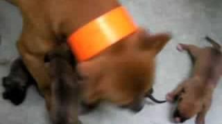 ピットブル×ブルテリ=ぷれでたー Dog.