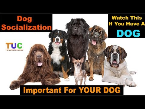 DOG Socialization In Hindi - How To Socialize Dogs - TUC - The Ultimate Channel
