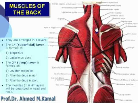 031- Muscles of the back (Upper Limb) - YouTube