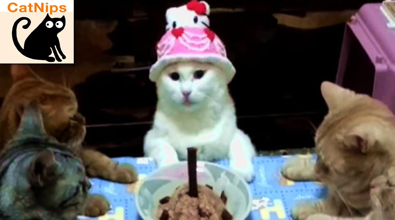 Cat Has Birthday Party With Kitty Friends Catnips Youtube