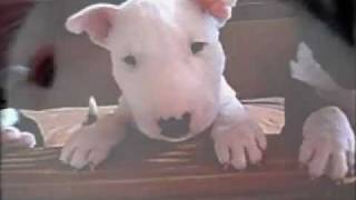 Kennel Calypso Mini Bull Terrier Is Baking Pupcakes.wmv