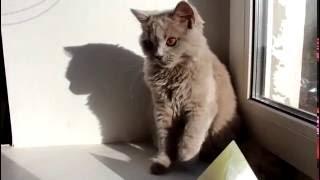 Британская лиловая кошка Catherine 5 month - купить котенка из питомника