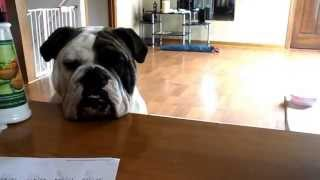 Our English Bulldog Tebow In A Super Excited Mood, Full Of Energy, Funny!