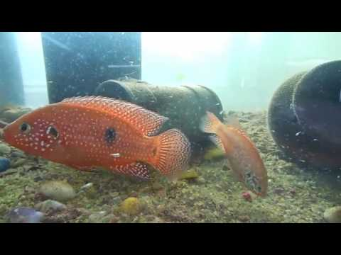 Red Jewel and Green Jewel cichlid pair with newborn fry